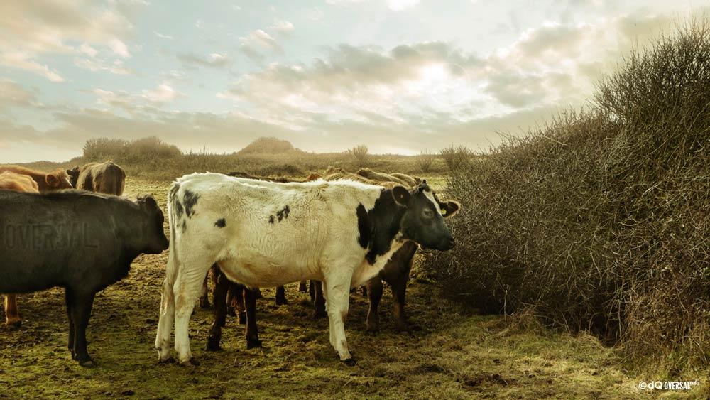 Cows feeding in the field - フィールドに供給牛 SKU: la-0021